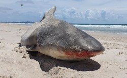 人気のビーチに、食いちぎられたサメの半身が打ち上げられる