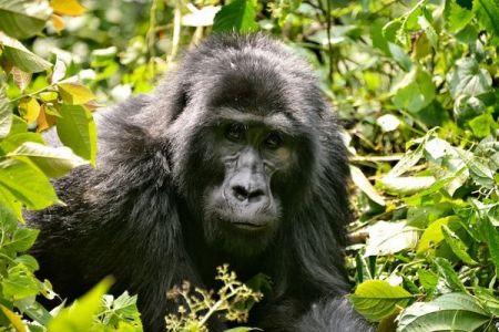 ウガンダで希少なマウンテンゴリラ4頭が死亡、原因は落雷か?