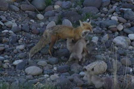 次から次へと子供が登場!11匹の子ギツネを世話する母親がスゴイ