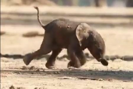 何度も立ち上がろうとする象の赤ちゃんに、胸が熱くなる【動画】