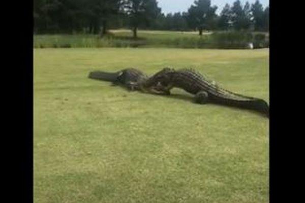 ゴルフ場のど真ん中で巨大ワニが格闘!噛みつき合う姿を撮影