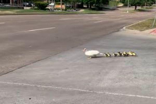 道路を横断中のカモの親子、車にひかれそうになるも奇跡的に全員無事【動画】