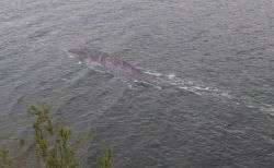ネッシーか?それともナマズ?ネス湖で不思議な生物の写真を撮影