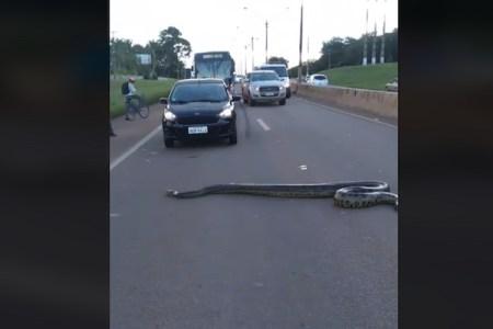 アナコンダが中央分離帯さえ乗り越え4車線道路を横断、ブラジルは蛇優先