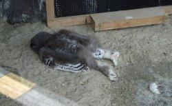 意外!フクロウの子供はうつ伏せに寝る…投稿写真が続々