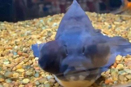 青黒く染まり死にかけていた金魚、新しい飼い主の世話で劇的に回復