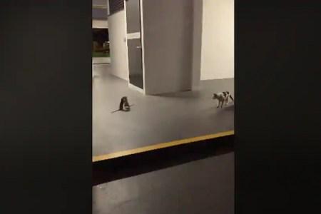 2匹のネズミの格闘をネコが観戦、お話のような場面が現実に