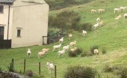 英で突然、群れの羊たちが動かなくなる!地元の人が異様な光景を撮影