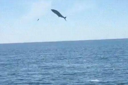 豪の海で大きなサバが飛び跳ね人間に激突、ボートに乗っていた男性が死亡