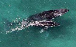 豪の海で女性が母クジラのヒレに打たれケガ、子供を守ろうとする