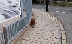 平べったい尻尾に、よちよち歩き…ドイツの街に野生のビーバーが現れる