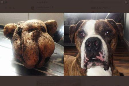 イギリスで掘り出された大きなジャガイモ、飼っている犬にそっくりだった!
