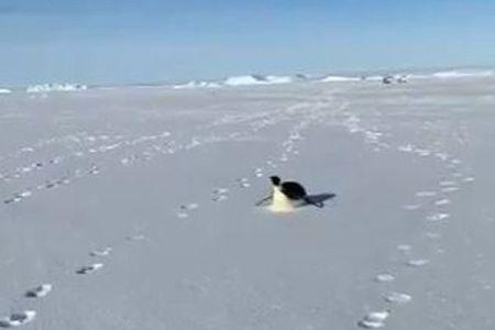 南極探検隊のあとをつけてくる皇帝ペンギン、お腹で氷を滑る姿がかわいい