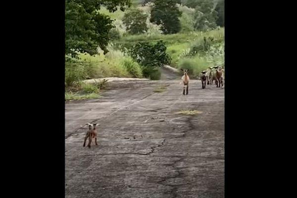 人間に助けられ母親と再会する子ヤギ、駆け寄っていく姿が感動的