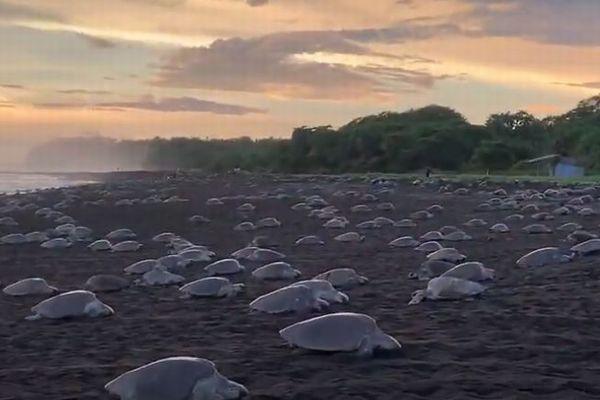 コスタリカのビーチに無数のウミガメ、出産のために集まった姿が圧巻【動画】