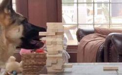 人間とゲームをするワンコ、「ジェンガ」でパーツを引くシェパードが賢い