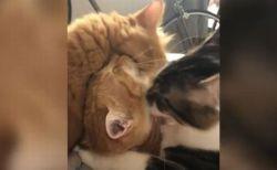 「もう、やめて…」2匹から顔を舐められ続けるネコの動画がユニーク