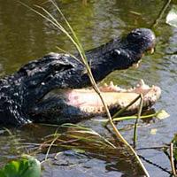 w- alligator