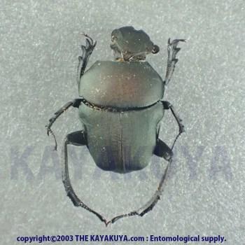 [:ja]Sisyphini sp 1ex ホンジュラス[:en]Sisyphini sp 1ex Honduras[:]