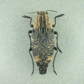 [:ja]アマミキモンフタオタマムシ 21.5mm♂ 奄美大島[:en]Tokaranodicerca shimonoi 21.5mm Male Japan Amamioshima-Is Extremely rare[:]