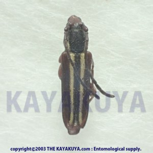 [:ja]Unknow Cerambycidae sp011 1ex オーストラリア [:en]Unknow Cerambycidae sp011 1ex Australia [:]