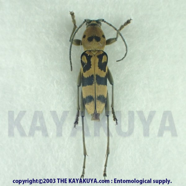 [:ja]ヤエヤマトラカミキリ 1ex 奄美大島[:en]Chlorophorus yayeyamensis 1ex Japan Amamioshima-Is[:]