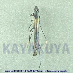 [:ja]Enchoptera sp 1ex オーストラリア[:en]Enchoptera sp 1ex Australia [:]