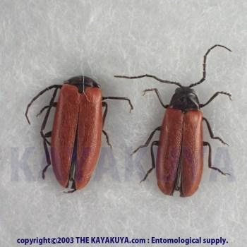 [:ja]アマミアカミナミボタル PA 奄美大島[:en]Drilaster bicolor PA Japan Amamioshima-Is [:]