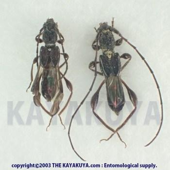 [:ja]リュウキュウタケウチヒゲナガコバネカミキリ PA 奄美大島[:en]Glaphyra takeuchii ebeninus PA Japan Amamioshima-Is[:]