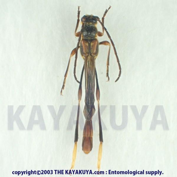 [:ja]アマミホソコバネカミキリ 25mm+♂ 奄美大島 [:en]Necydalis moriyai 25mm♂ Japan Amamioshima-is[:]