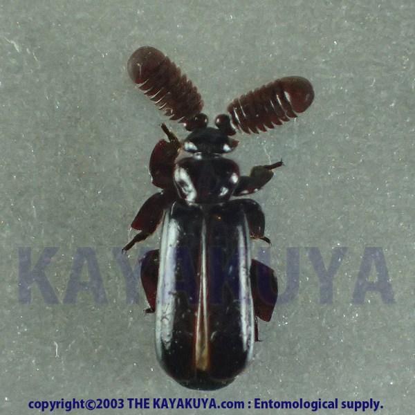 [:ja]Arthropterus sp4 1ex オーストラリア [:en]Arthropterus sp4 1ex Australia [:]