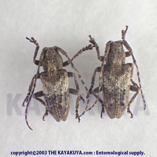 [:ja]コブバネサビカミキリ PA 奄美大島[:en]Pterolophia (Ale) gibbosipennis subcristipennis PA Japan Amamioshima-Is[:]