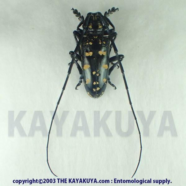[:ja]オオシマゴマダラカミキリ ♂ 奄美大島[:en]Anoplophora oshimana ♂ Japan Amamioshima-Is[:]