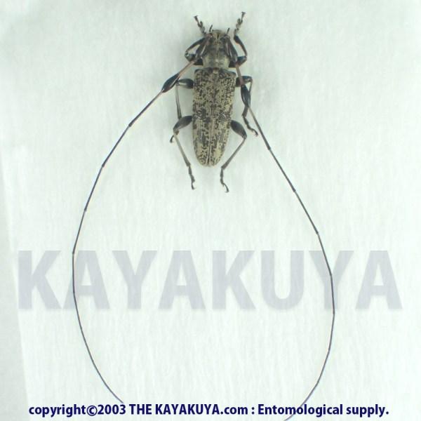 [:ja]アマミコブヒゲカミキリ ♂ 奄美大島 [:en]Rhodopina modica ♂ Japan Amamioshima-Is[:]
