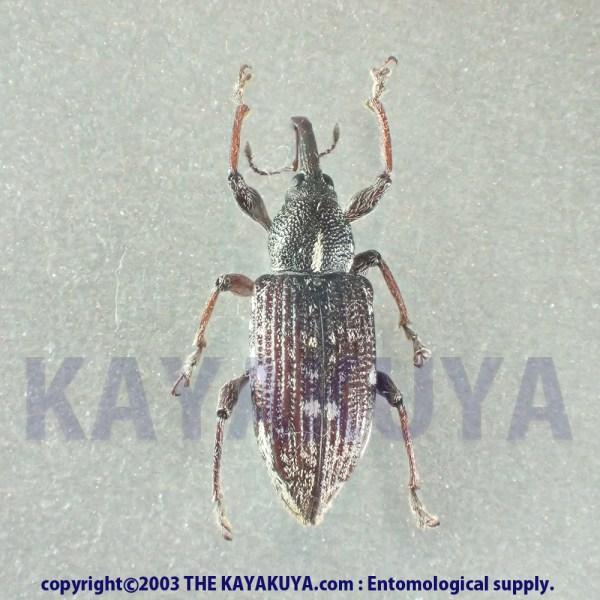 [:ja]Curculionoidea spxx 1ex オーストラリア [:en]Curculionoidea spxx 1ex Australia [:]