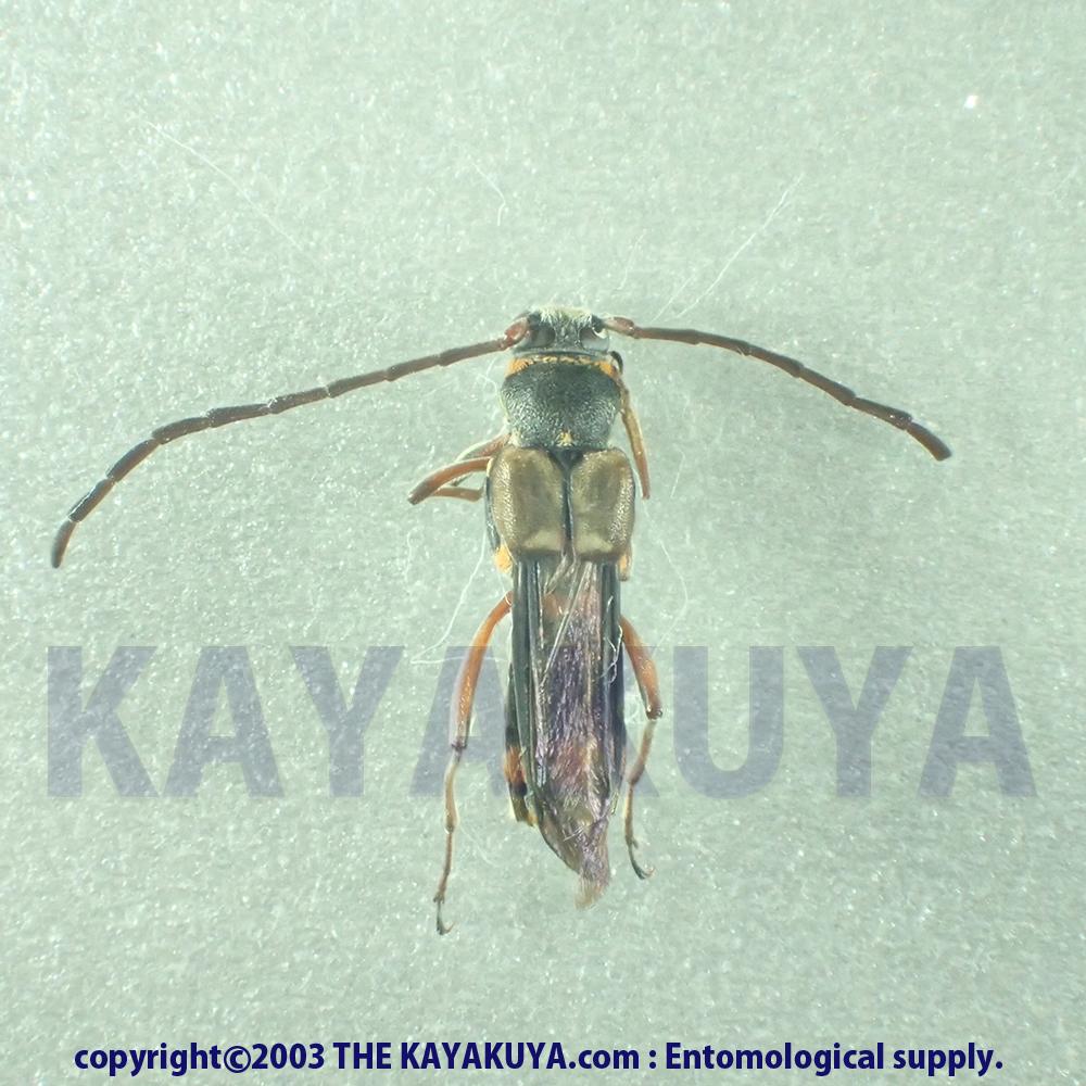 [:ja]Hesthesis sp0x ♂A2オーストラリア[:en]Hesthesis sp0x ♂A2 オーストラリア[:]
