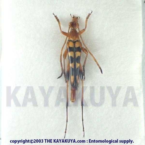 [:ja]オオシマホソハナカミキリ ♂ 奄美大島 [:en]Strangalia gracilis ♂ Japan Amamioshima-Is[:]