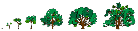 Animation drawings of the growing Comfort Maple