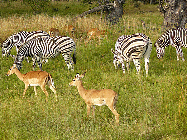 Zebras mingle with other animals at Chobe National Park, Botswana.
