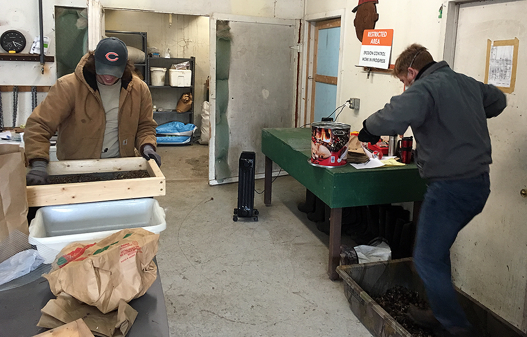 Bruce cleaning seed and Nate stomping echinacea heads.