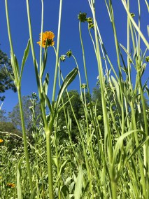 NEWS HOP | The Coreopsis were just beginning to bloom