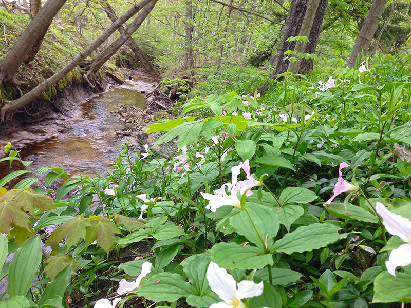 A beautiful patch of trillium on the banks of Dyckman Creek at Pilgrim Haven Natural Area, South Haven, MI. Photo by Kristin Schinske.