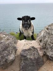 A young Kasmmir Goat popping up from behind a wall on the Great Orme Coastal Path