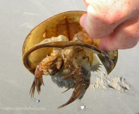 horseshoe crab molt (split along front of shell) at Slaughter Beach DE