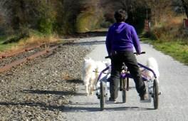 team of Samoyeds on the Rail Trail