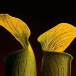 las flores carnales de Robert Mapplethorpe