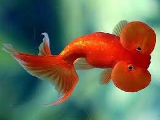 .jpg - اغرب أنواع السمك السمكة الذهبية