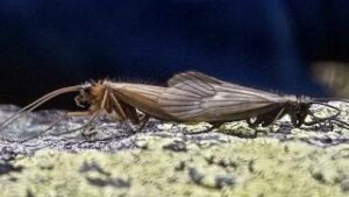 كورونا 300x169 - حشرة حديثة أطلق عليها اسم ذبابة كورونا