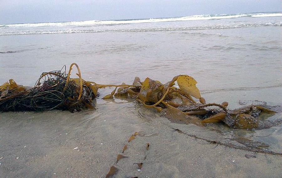 Kombu washed up on a beach