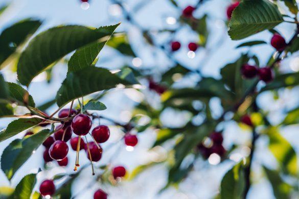 Cherries on tree branch